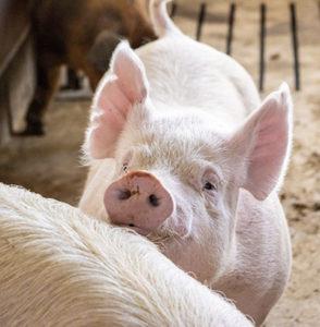 SIU show-quality pigs